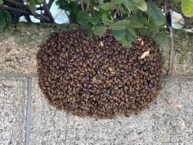 二ホンミツバチの分蜂