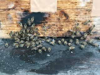 二ホンミツバチ