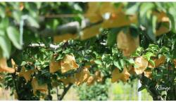 果樹園 ナシ