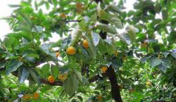果樹園 カキ