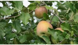 果樹園 リンゴ